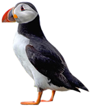 Tindur the Puffin